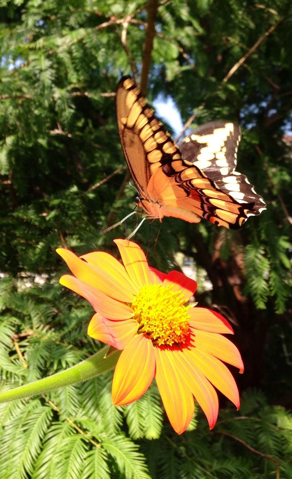 Butterflies Are Slowly Making An Appearance In The Butterfly Habitat Garden;  Tithonia Is A Favorite
