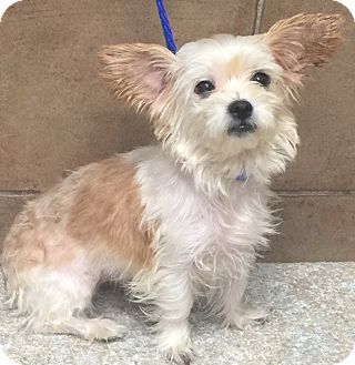 Oswego Il Shih Tzu Yorkie Yorkshire Terrier Mix Meet Lulu And Gigi A Dog For Adoption Shih Tzu Pet Adoption Adoption