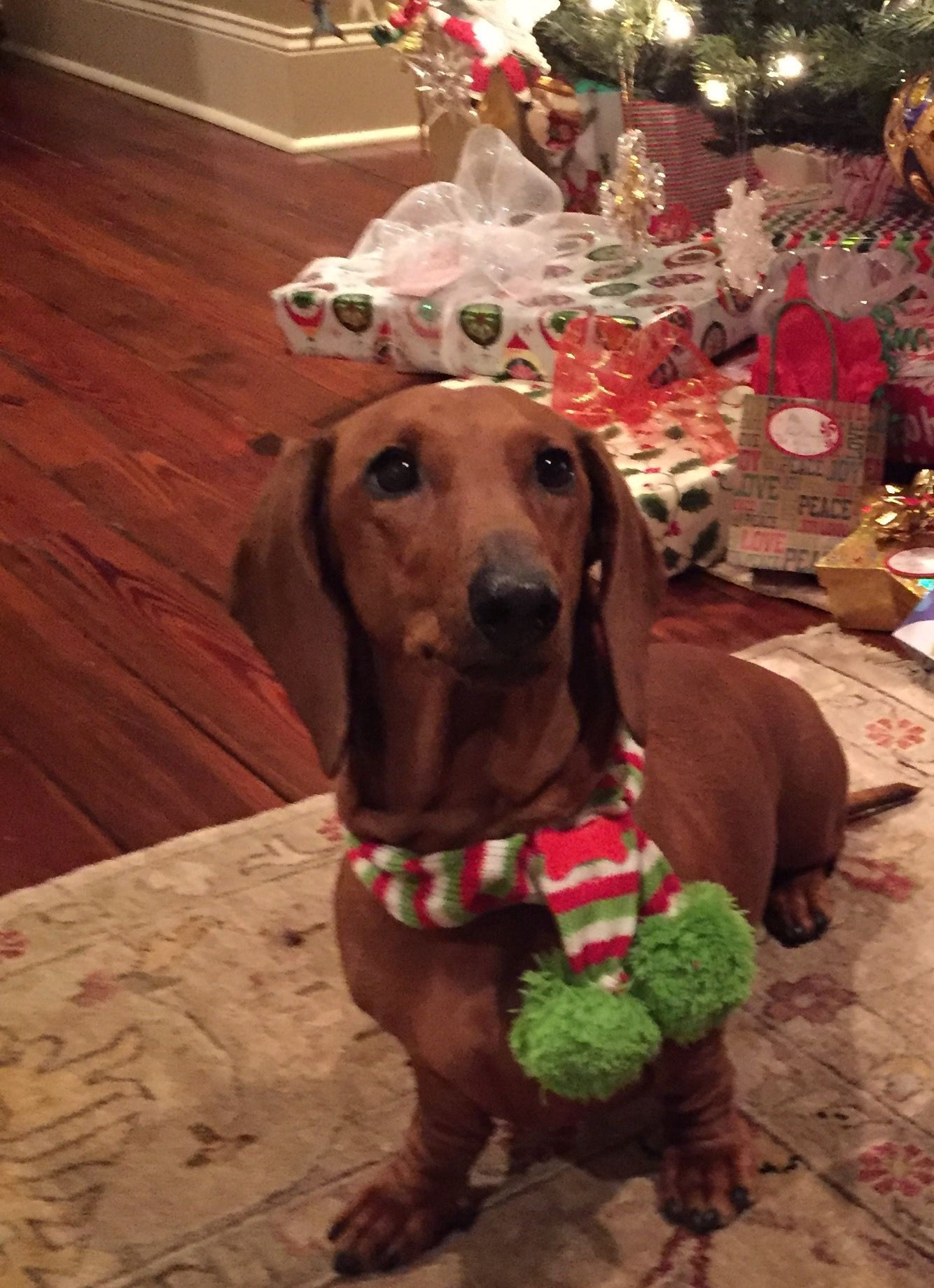 Gracie Waiting For Santa Dachshunds Equal Love Baby Dachshund