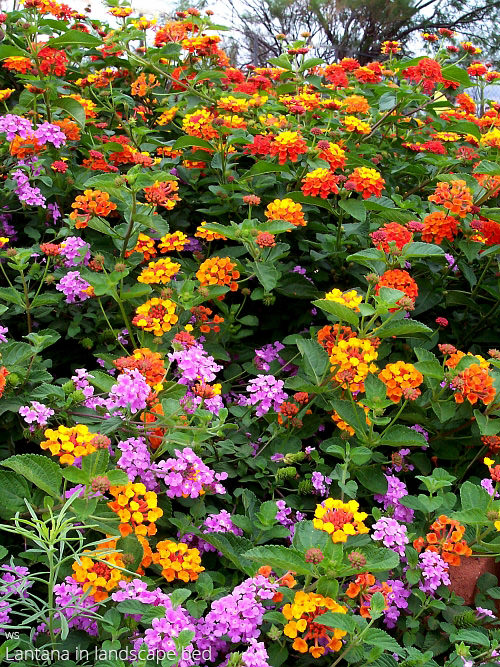 Lantana All About Color All About Color In 2020 Lantana Lantana Flower Beautiful Flowers Garden