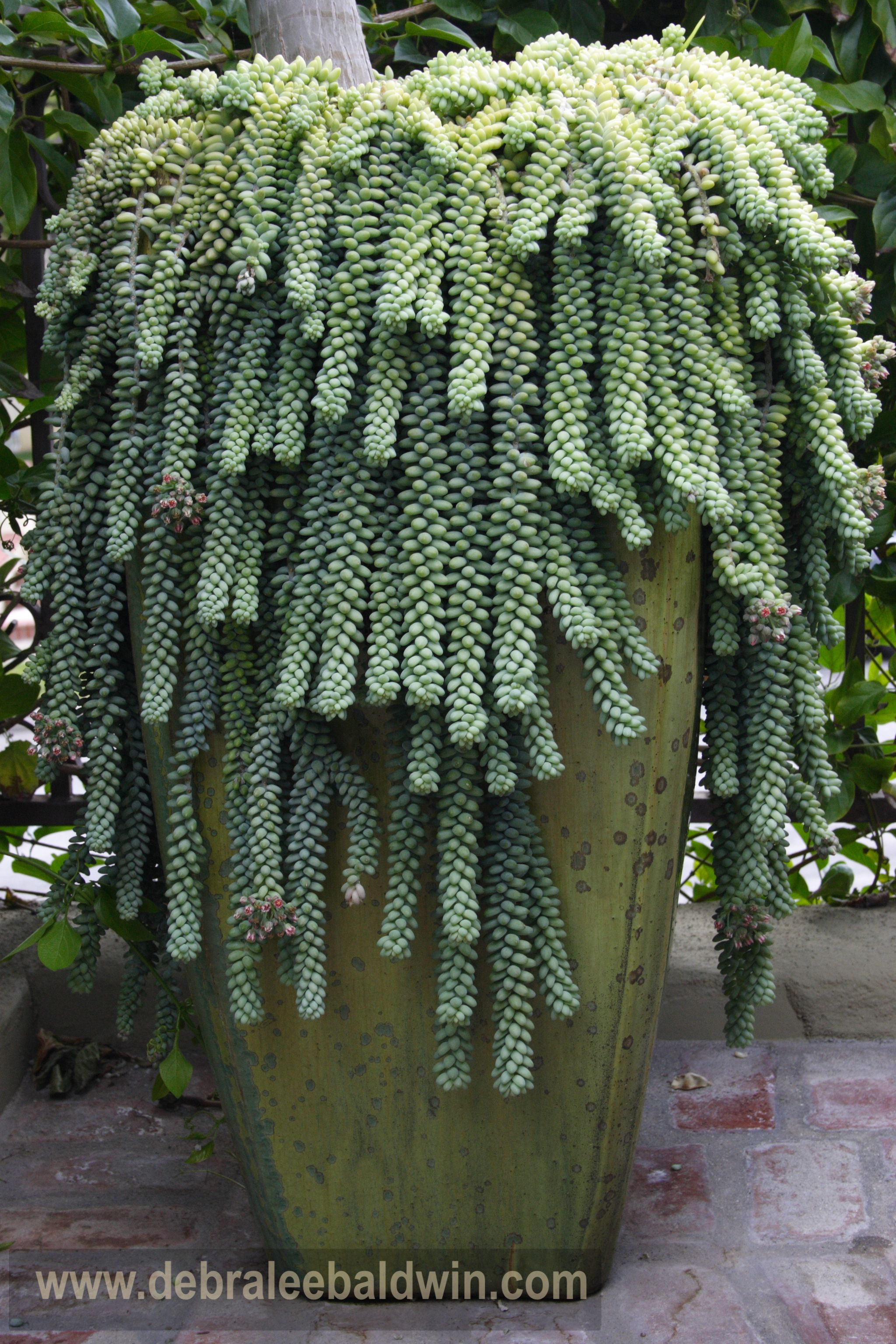 Sedum morganianum - Donkeys tail or Burros tail - Succulent plant ...