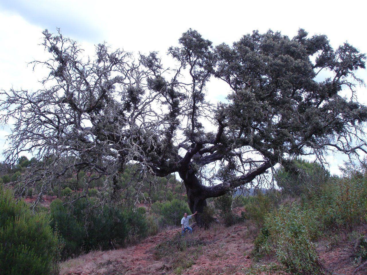 A azinheira do Monte das Pias , situada na Herdade das Pias (Monte das Pias, concelho de Mértola), bem perto do Pulo do Lobo. Está classificada como árvore de interesse público desde 1997, tendo uma idade estimada de 500 anos.