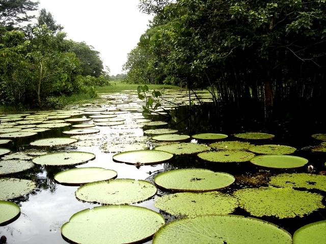 Plantas Acuatica En El Amazonas Increible Amazonas Colombia Fotos De Colombia Amazonas