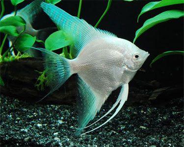 Platinum angelfish freshwater fish pinterest for White fish types