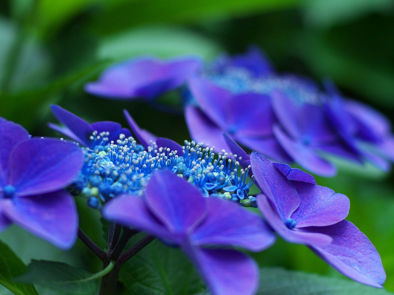 Hydrangea Very Beautiful Flowers Hydrangea Colors Flowers Nature