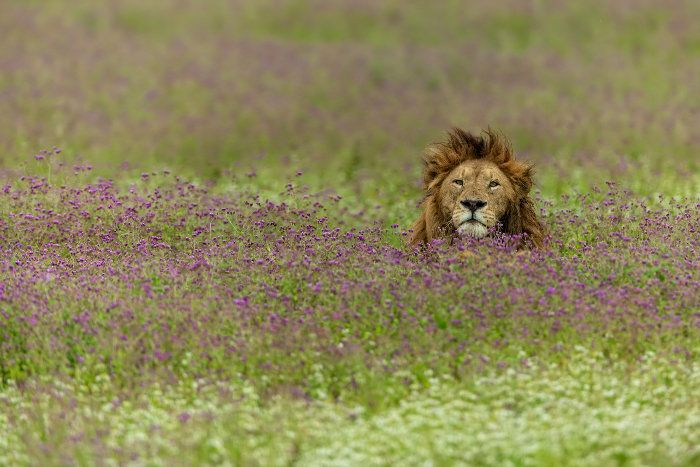What Do Lions Eat Meat Flesh  Poachers  Africa Freak Lion in a field of purple flowers Ngorongoro Crater