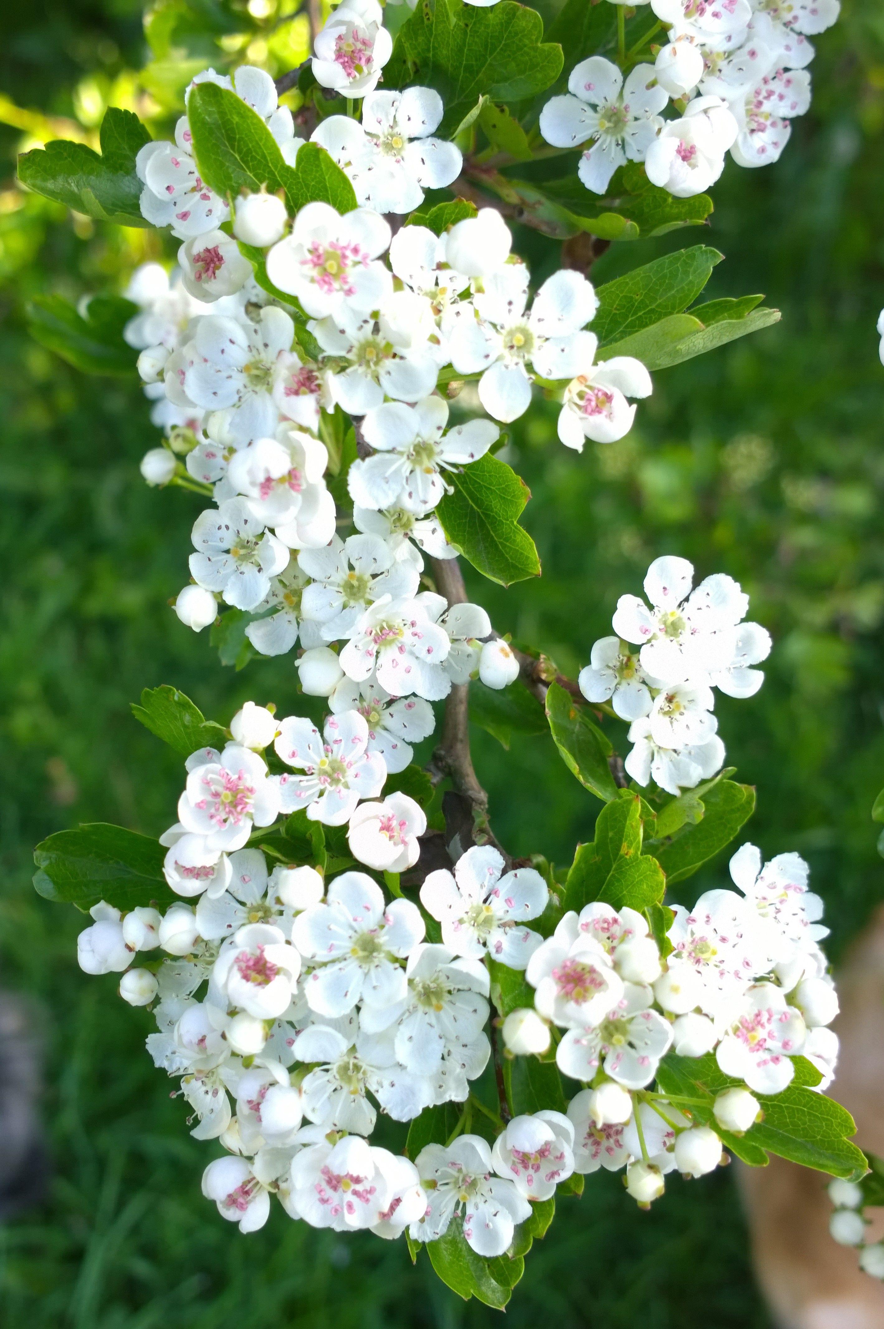Morning spring small white flowers aylestone lane wigston morning spring small white flowers aylestone lane wigston leicestershire uk 2018 by mightylinksfo