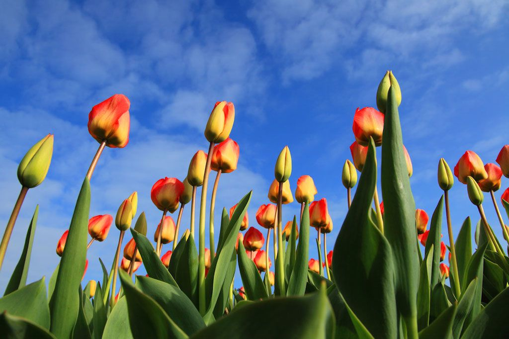 Viral Video Marketing Is One Way Of Driving Traffic That Can Bring More People To Your Offer Than Anything Else Here Are Tulipas Amor Flores Campo De Tulipas