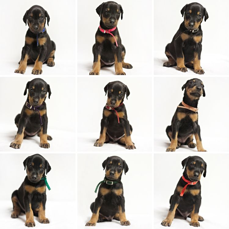 Puppy Timeline Prima Dobermans Doberman Puppies Doberman