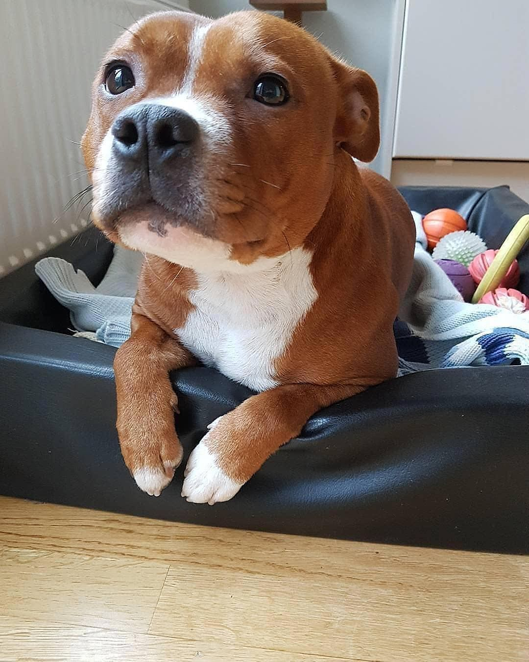 Rate Him From 1 To 10 Foxy Grace Pitbullpuppies Dogs Cute
