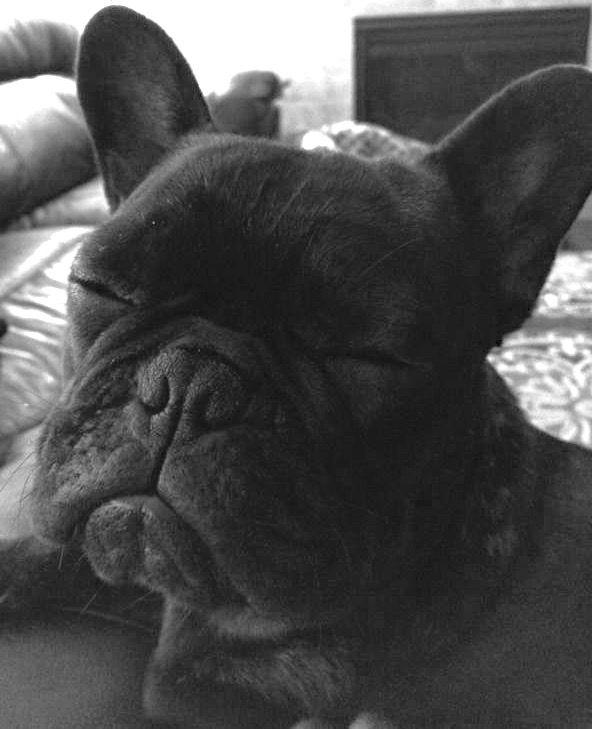 I Ma Sleep Sitting Up Classic French Bulldog Cute Dogs French Bulldog Cute French Bulldog