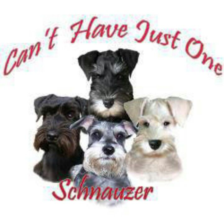 Can T Have Just One With Images Schnauzer Miniature Schnauzer