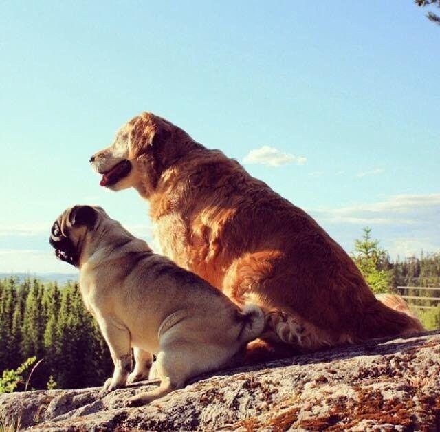 My Old Golden Retriever And My Friend S Pug Enjoying The Sun