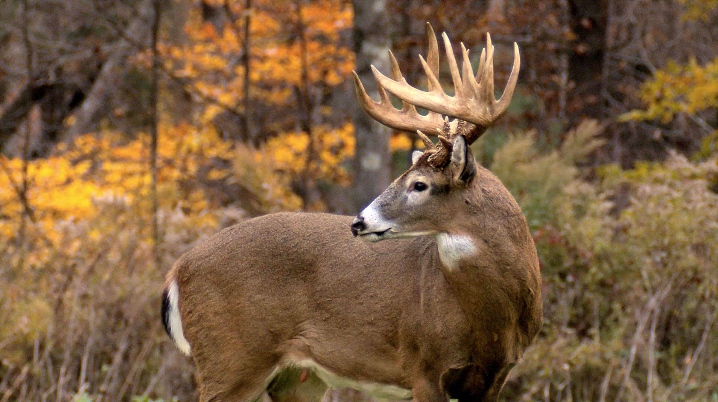 Deer & Deer Hunting | Whitetail Deer Hunting Tips |