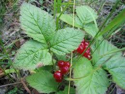 Lillukka --Rubuns saxatilis  (syötäviä marjoja)