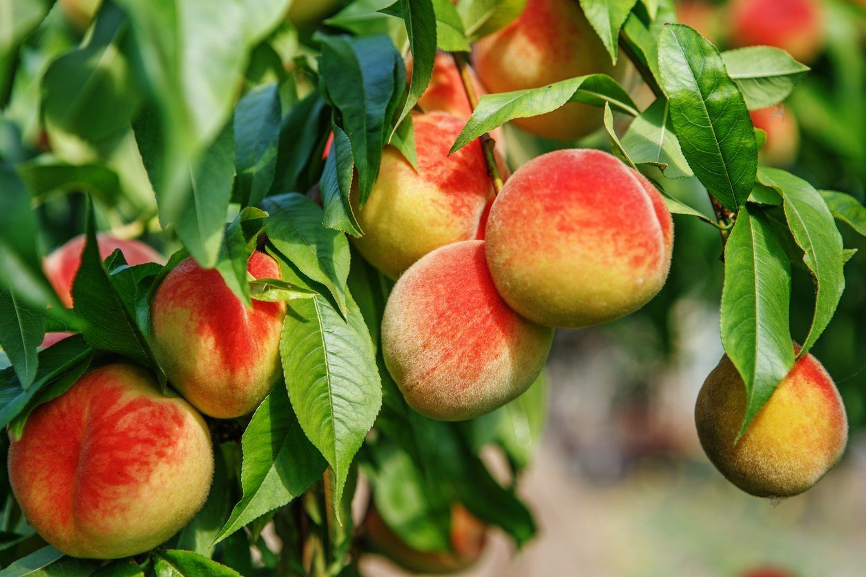 What Fruits Grow In Zone 9 The Warm Climate In This Zone Provides Ideal Growing Conditions For Many Growing Fruit Trees Dwarf Fruit Trees Growing Peach Trees