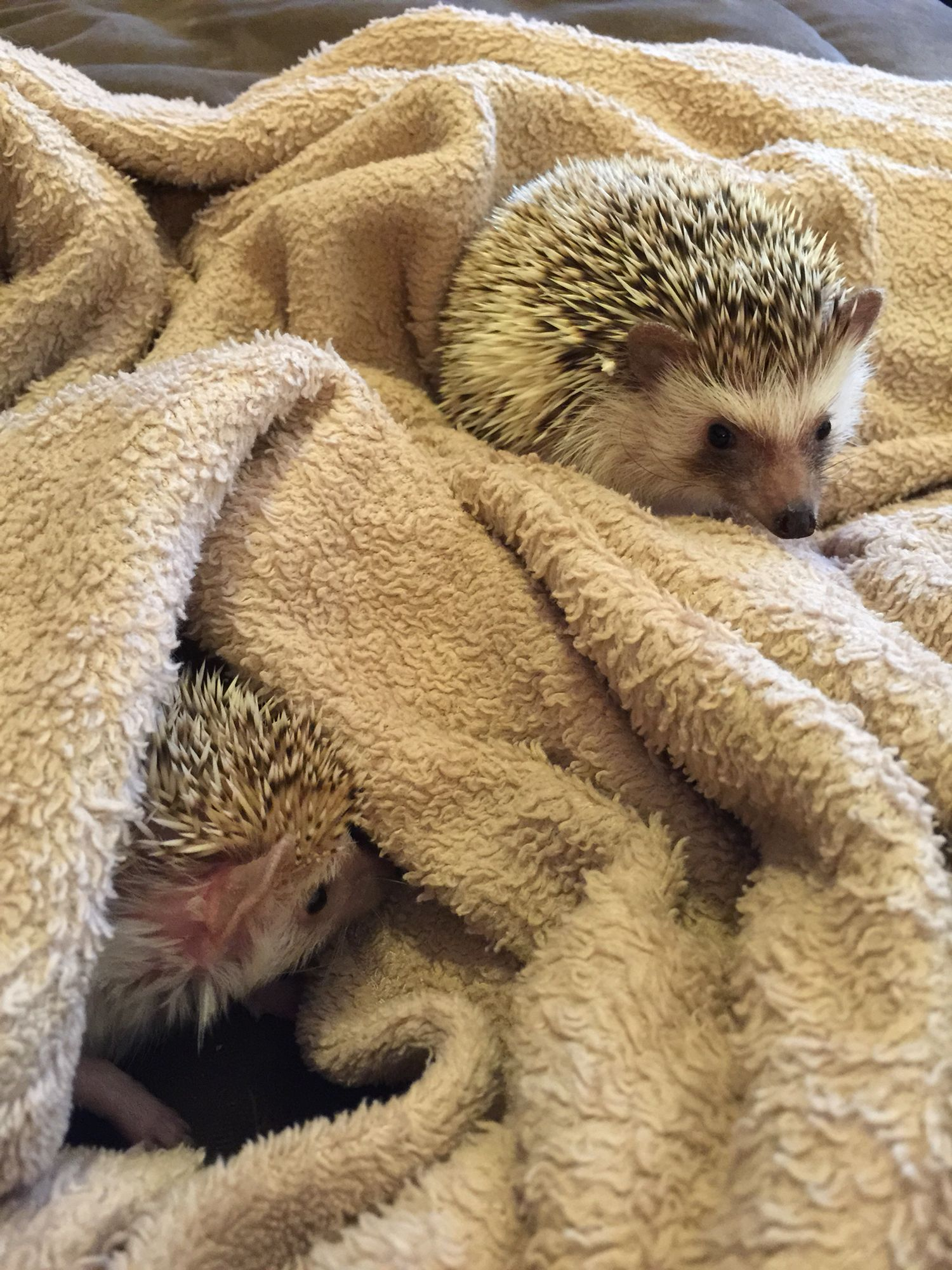 Meet Sonic and Luna, The Hedgehogs at The Redman Zoo! #Hedgehogs
