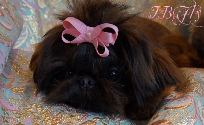 Quality Chinese Imperial Shih Tzu And Tiny Teacup Puppies For Sale Here Health Sweet Temperament A Imperial Shih Tzu Puppies For Sale Teacup Puppies For Sale