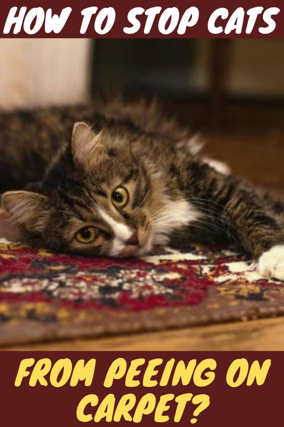 Cat peeing on the carpet