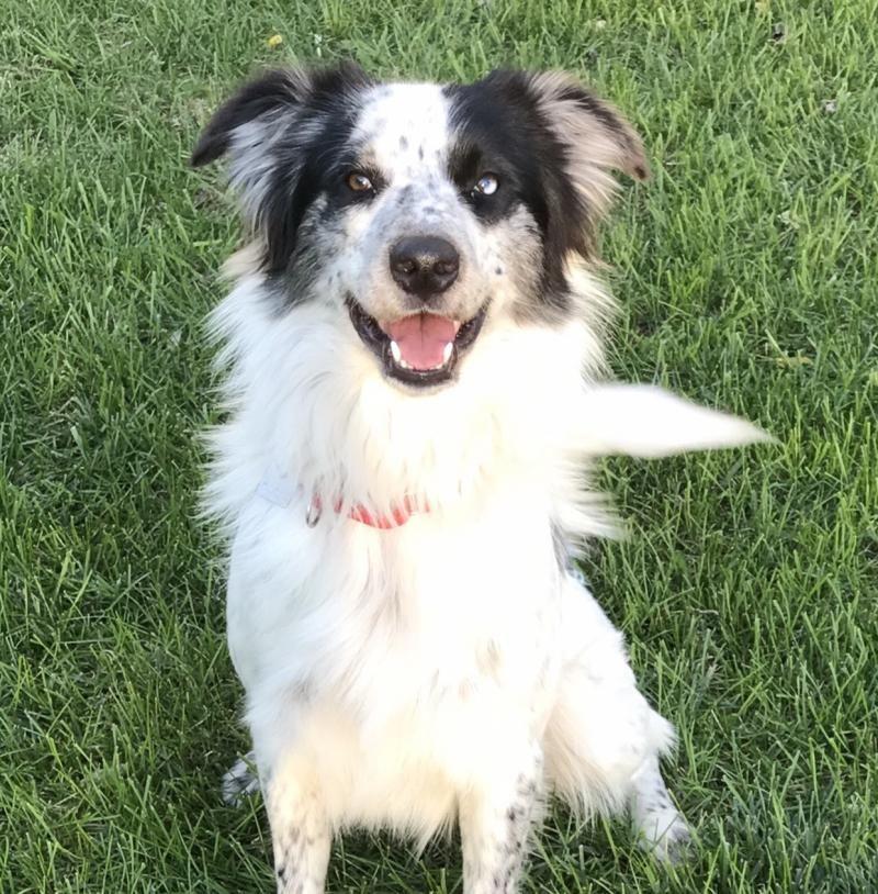 Adopt Ollie On Shepherd Mix Dog Doberman Rescue Border Collie