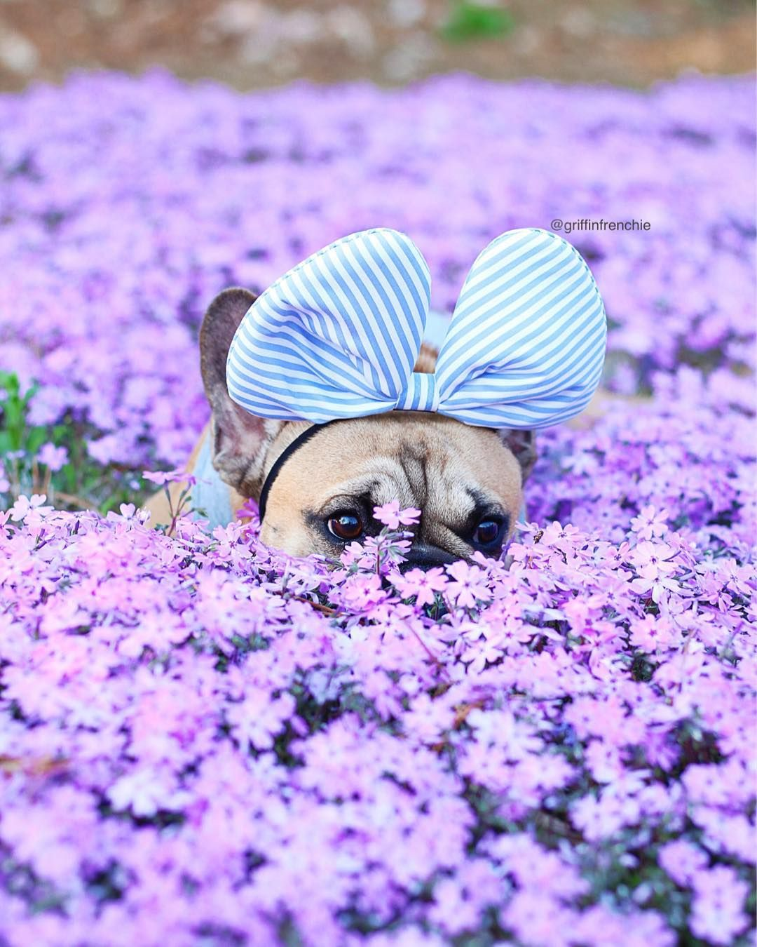 Why French Bulldogs puppies cost that much? French