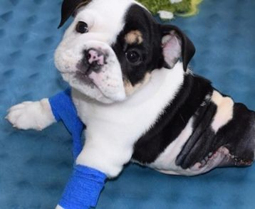 Story of brave little bulldog with only half a body is the best thing you'll see all day