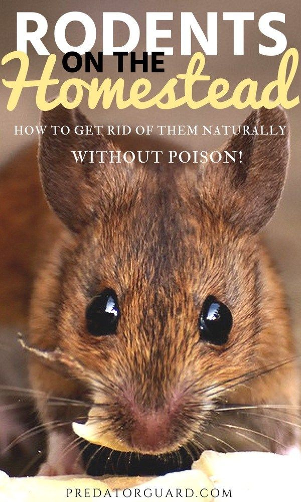 Rodents on the Homestead - How To Get Rid of Them ...