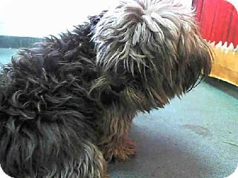 Miami, FL - Yorkie, Yorkshire Terrier Mix. Meet PUCCI a Dog for Adoption.