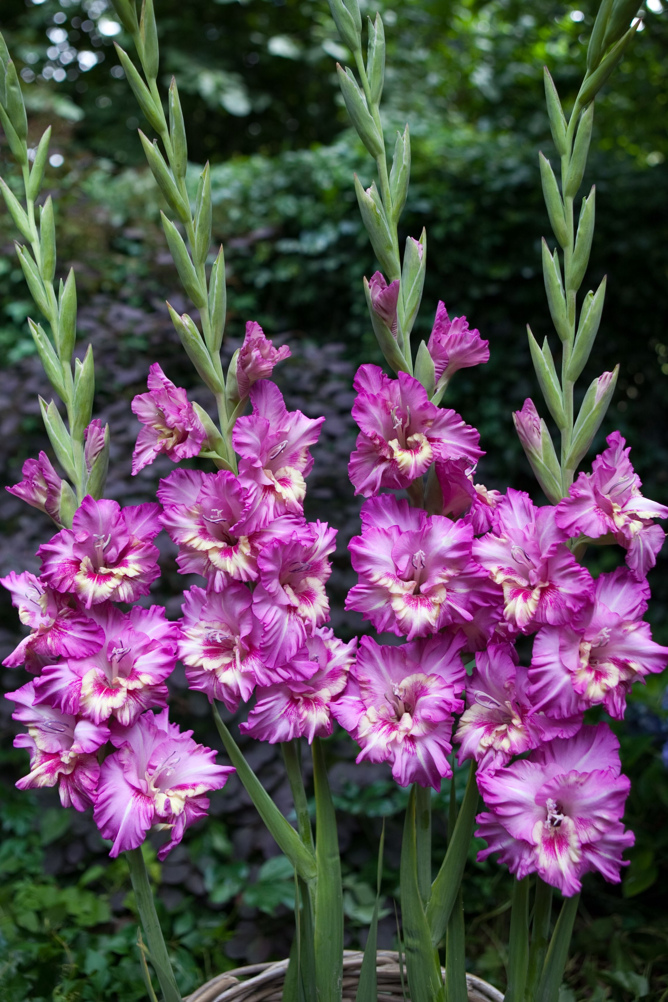 Plant Gladiolus bulbs in a tilled space Late summer you