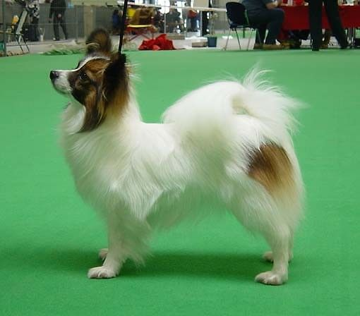 Top Papillon Papillon Dog Lap Dogs Dog Love