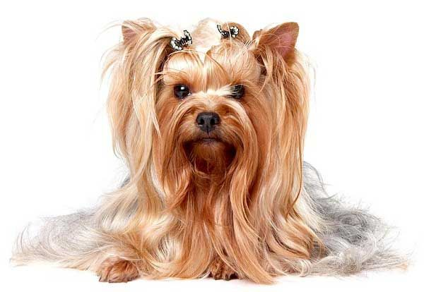 Top 10 Reasons For Owning A Yorkie Yorkshire Terrier Yorkie