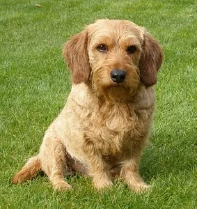 Basset Fauve De Bretagne Looking For Information About The Basset Fauve De Bretagne Click Here To Find Training Puppy Miniature Dogs Teacup Dog Breeds Dogs