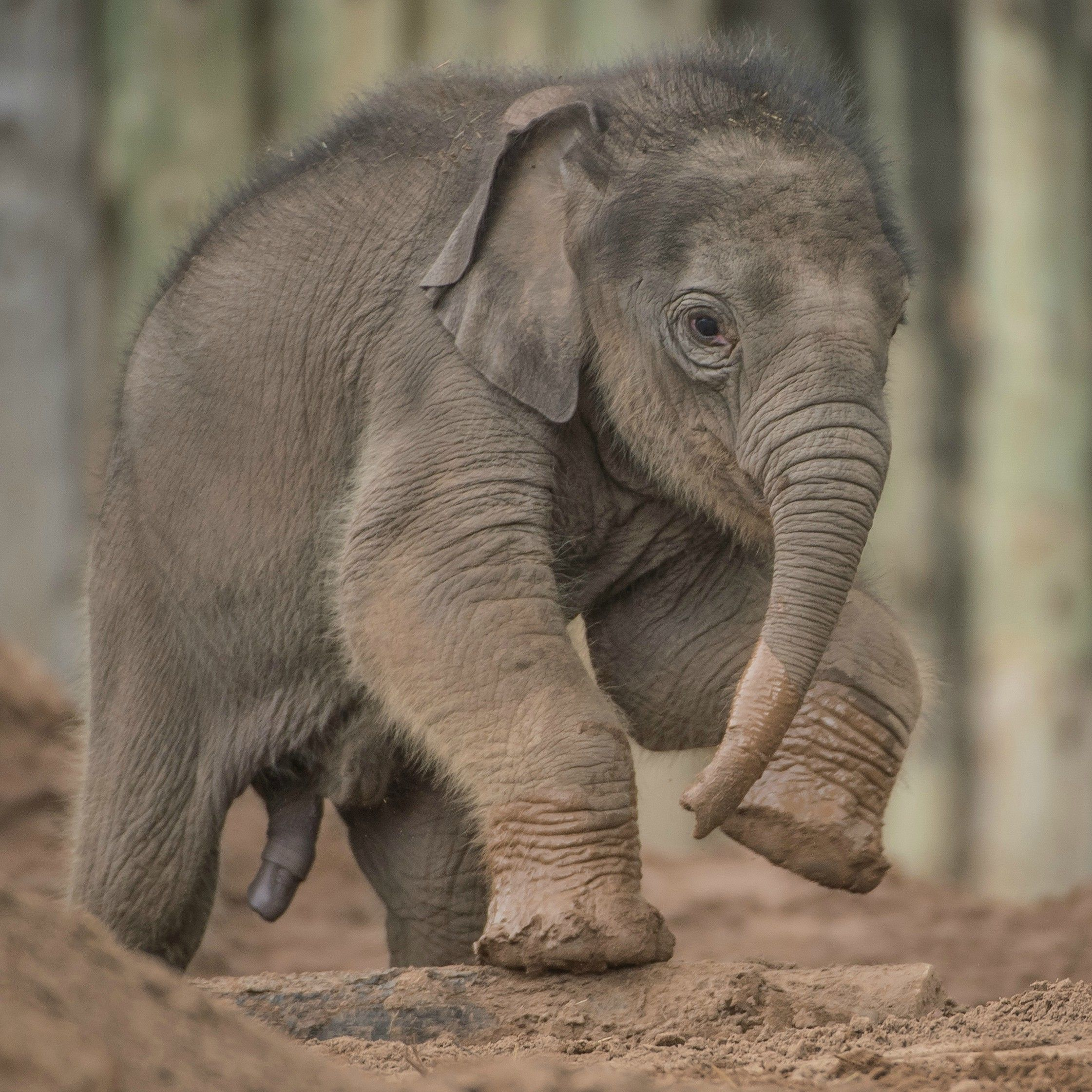 Elephant Calf Born Three Months Late Gets A Name Chester Zoo Elephant Baby Elephant