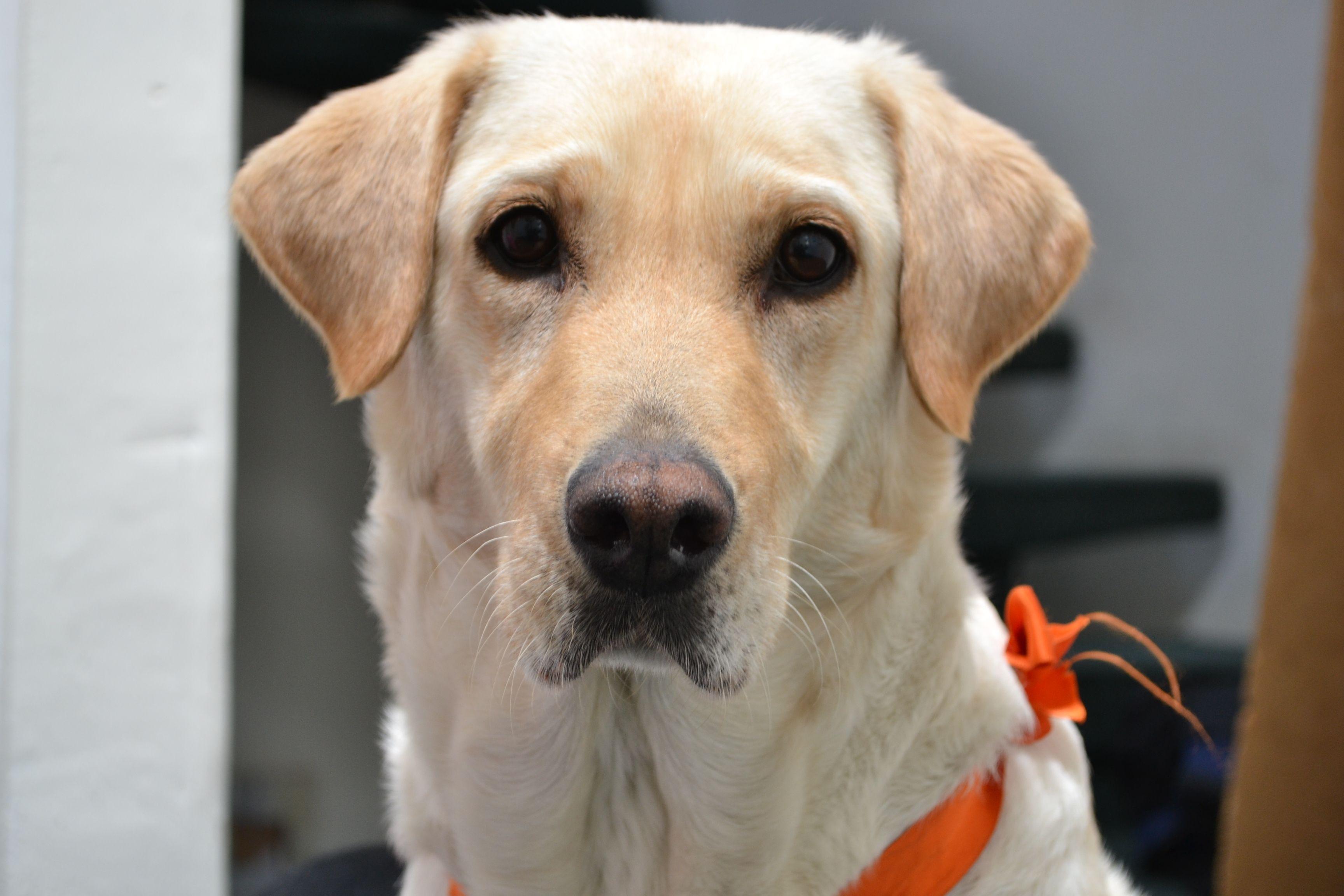Lu con naranja Labrador retriever, Dogs, Labrador
