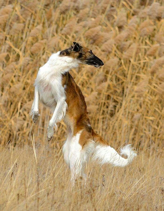 Silken Greyhound Windhunde Windhund Barsoi