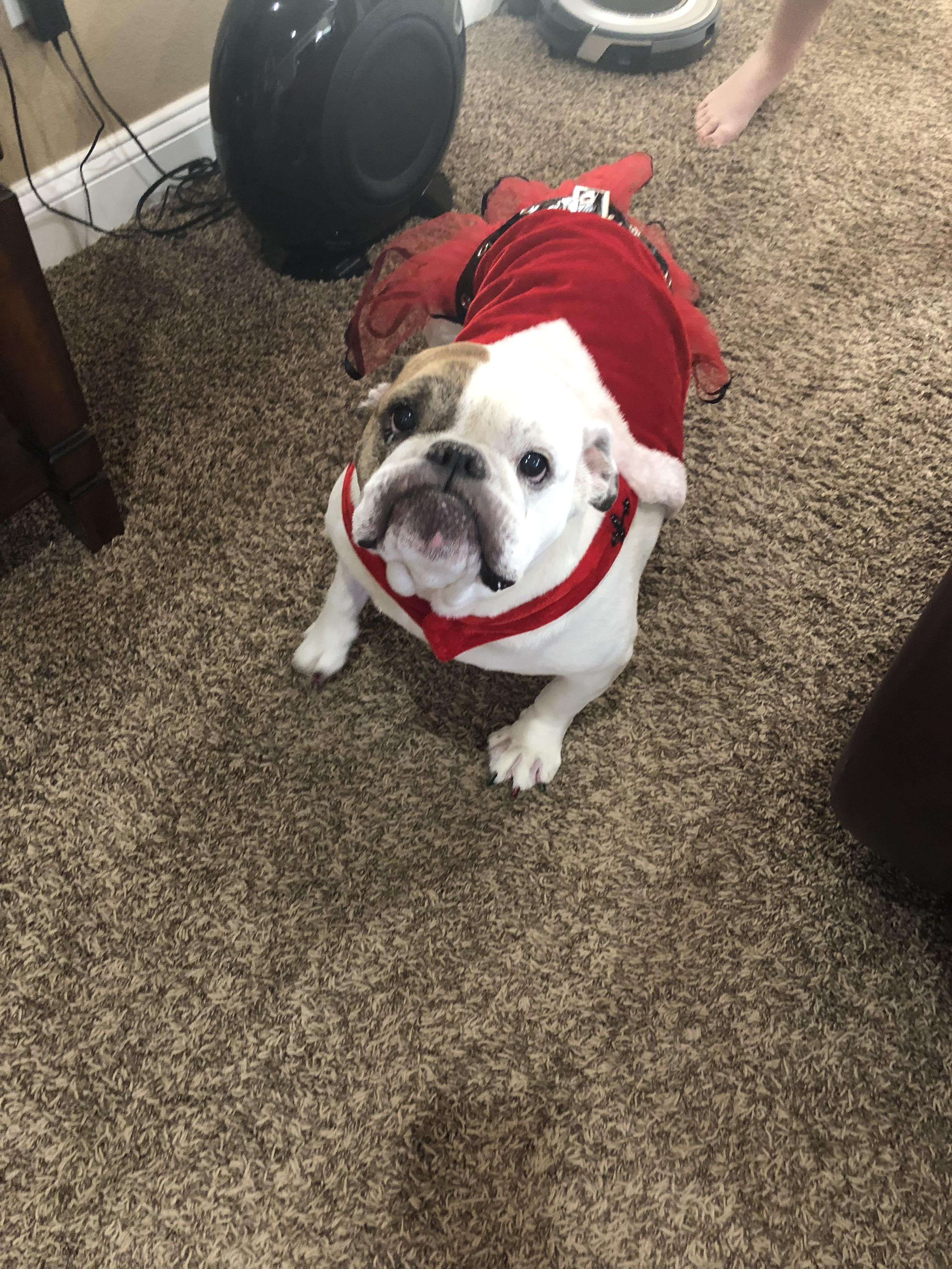 My English Bulldog Ready For Halloween Last Year Dogpictures