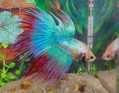 los colores de este pez que aunque esta muy marcados tienen una apariencia bastante tornasolada ademas de sus grandes aletas lo hacen ver un poco mas interesante por el tamaño que tienen y la textura que forman