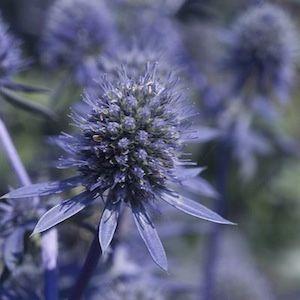 Blue Glitter sea holly seeds - Garden Seeds - Perennial Seeds.