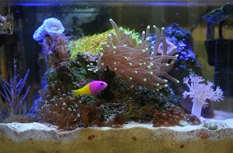 A beginner 39 s guide to pico reefs aquariums aquarium for Best saltwater fish for beginners