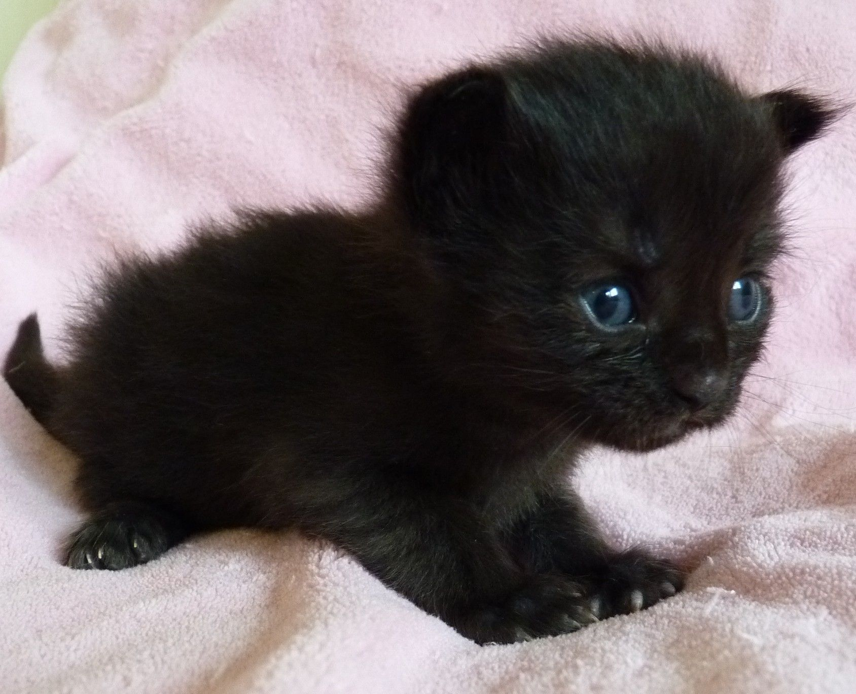 19 days old Black Smoke Maine Coon girl so adorable 3