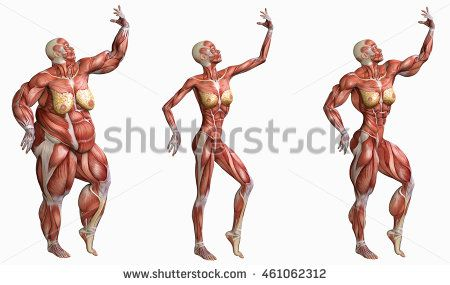 three shape of 3d anatomical muscles women : over weight, thin and ...