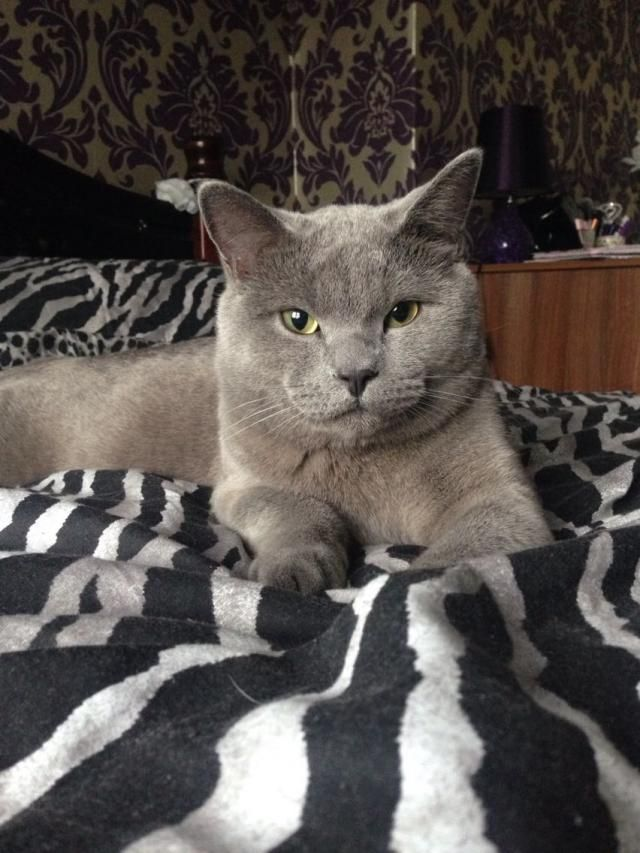 British Shorthair Male Cat For Sale For Sale In Perry Barr Birmingham British Shorthair Cats For Sale Cats And Kittens