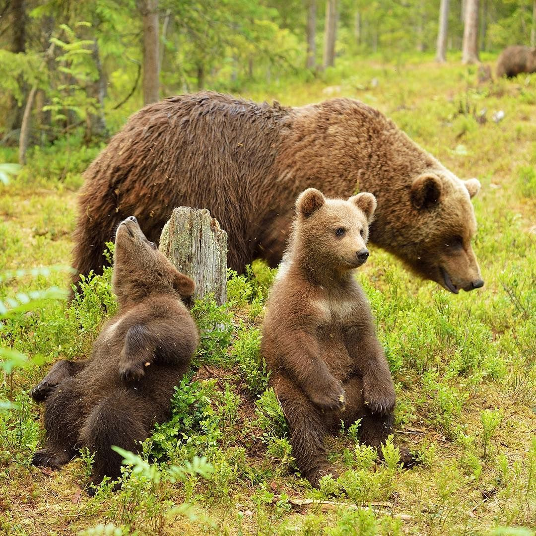In An Effort To Keep Black Bears Safe Yosemite National Park Has Introduced Keep Bears Wild A Tracking System Anyon Yosemite Bears Animals Outdoors Adventure