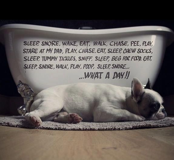 What A Day The Life Of A Busy French Bulldog French