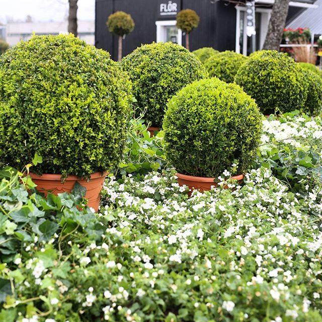 Ihanat kesäkukat ja puksipuut ovat täyttäneet kesäkukkapihamme #puksipuu #buxus #flör #flör2017 #florkukkajapuutarha #kukkajapuutarhaflör #kukka #puutarha #turku #love_turku #kissmyturku #flowerstagram #flowerinspo #kukkakauppa #natureinspires #natureinspired