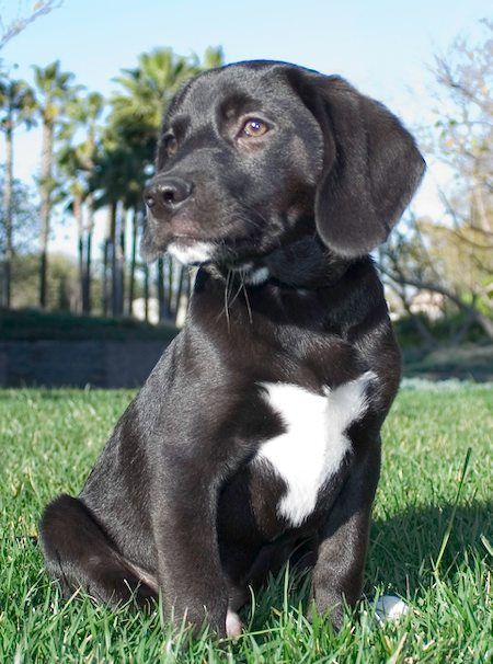 Labrador Retriever Beagle Mix Lab Mix Puppies Labrador Mix