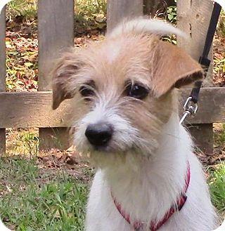 Nesbit Ms Wirehaired Fox Terrier Terrier Unknown Type Medium