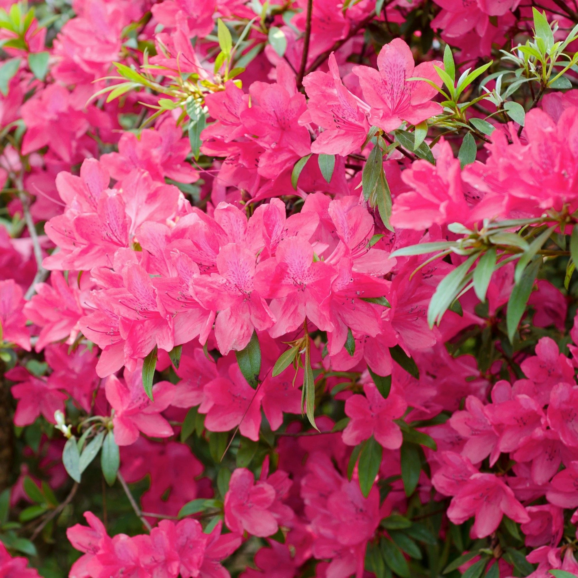 Azalea Chinana 2 5qt U S D A Hardiness Zones 6 9 1pc National Plant Network Pink Dogwood Tree Azaleas Flowering Shrubs