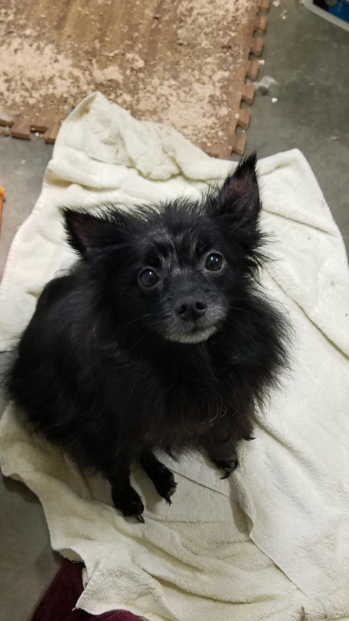 Adopt Pepper On Chihuahuas For Adoption Pet Adoption Animal Rescue
