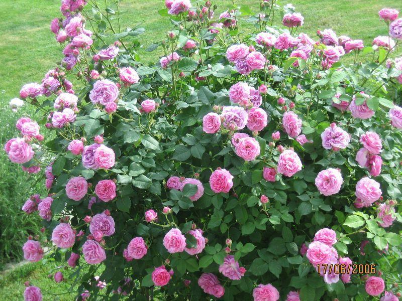 louise odier rose roses to buy. Black Bedroom Furniture Sets. Home Design Ideas